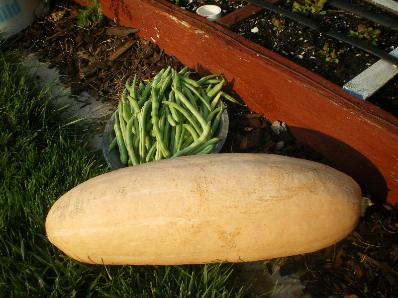 10-pound-squash
