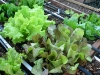 early-spring-lettuce