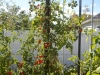 vertical rainbow cherry tomatoes