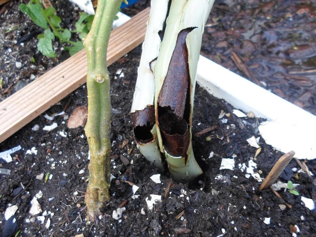 tomato plant broken support