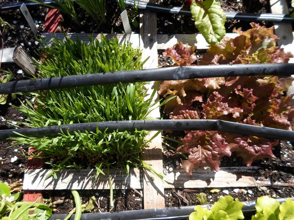 fall wheatgrass and prizehead