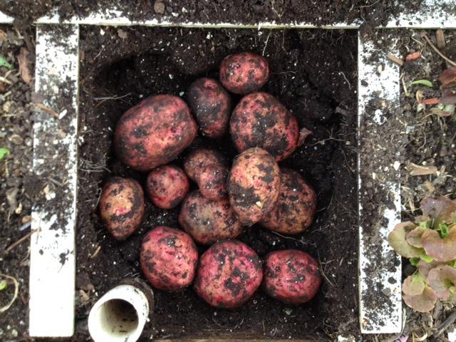 red pontiac potatoes on 123013