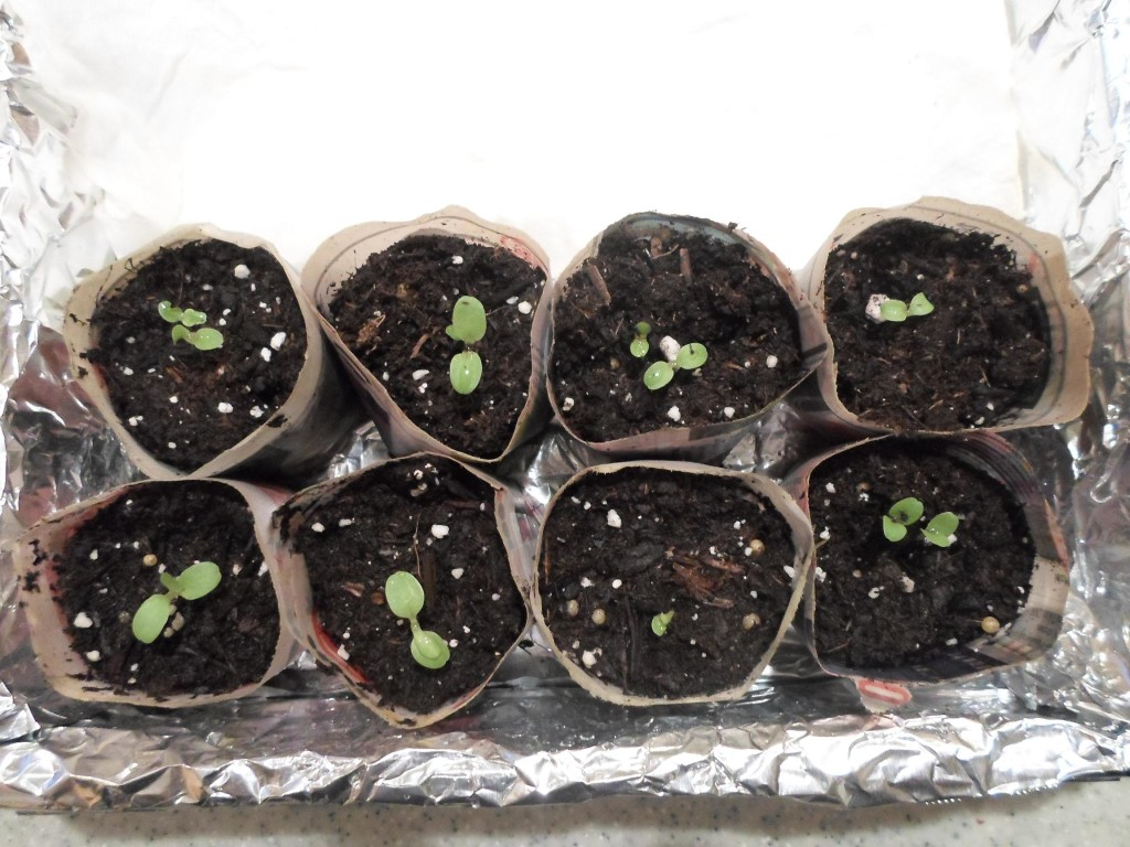 Red cross after 1 week of sprouting 32914