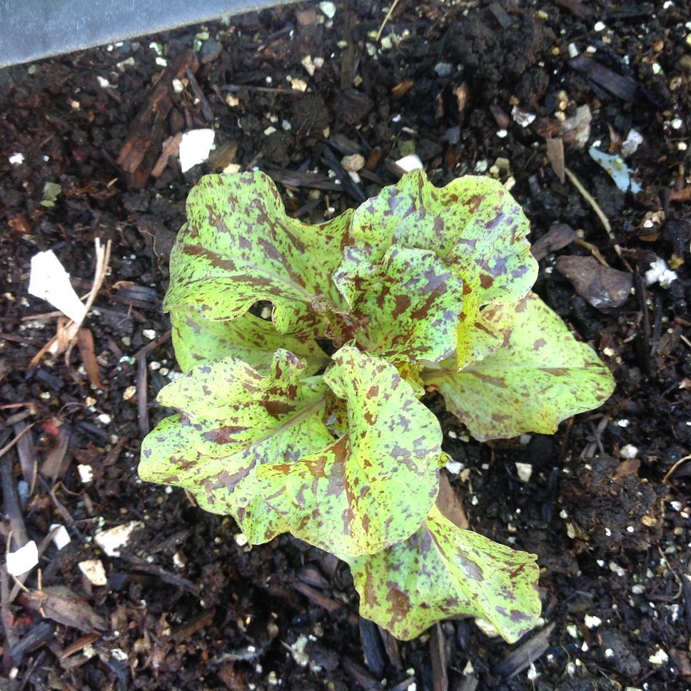 mottistone lettuce 72114
