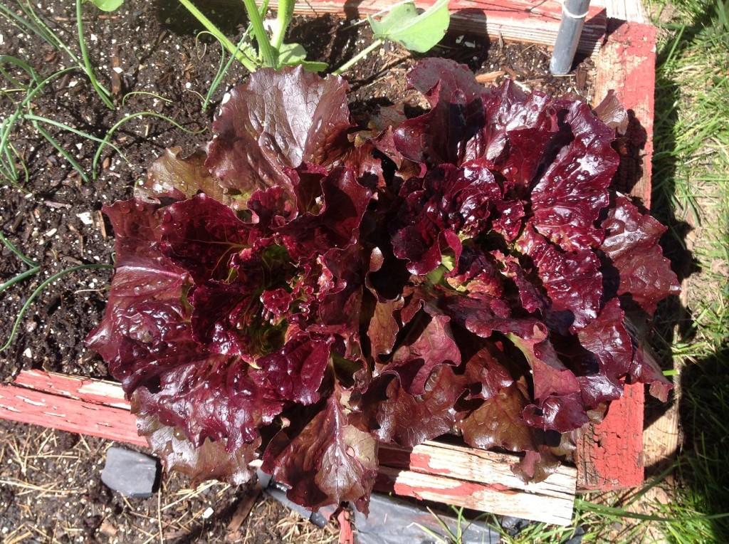 cherokee summer lettuce 081516
