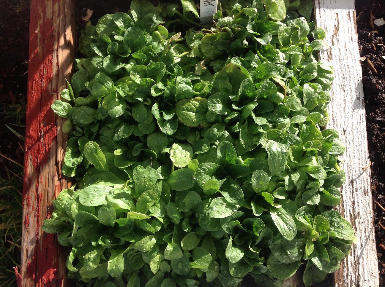 corn salad or mache in square foot gardening
