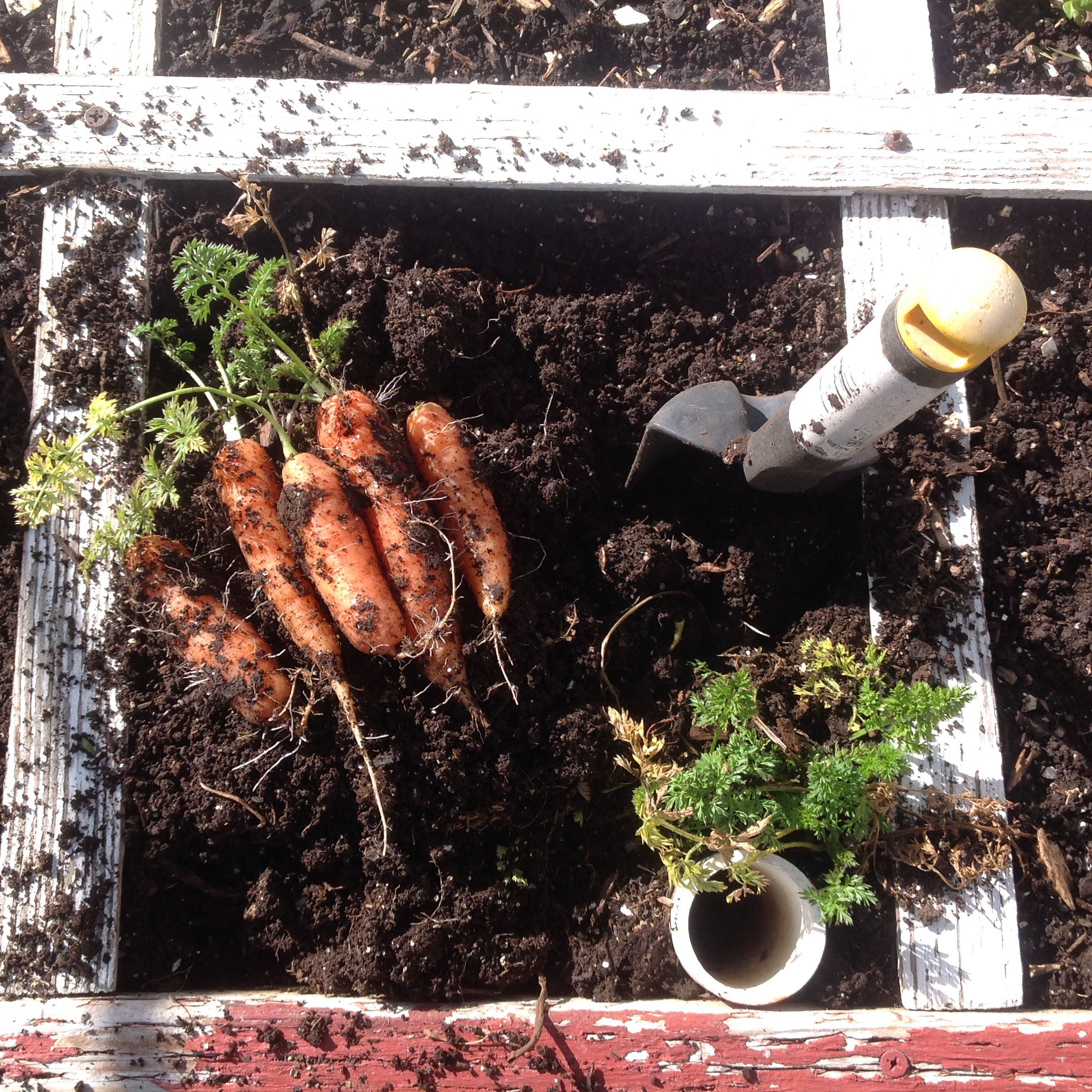 winter carrots in the square foot garden