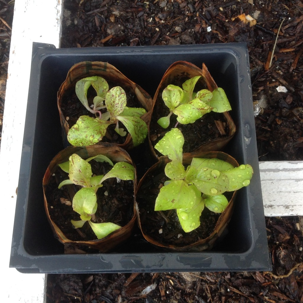 lettuce spacing in the square foot garden