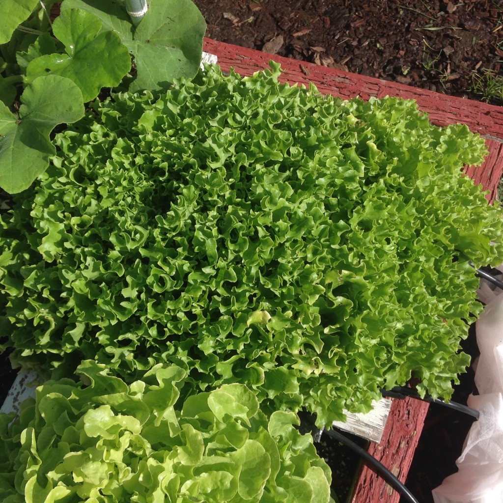 lettuce-no weeding with square foot gardening