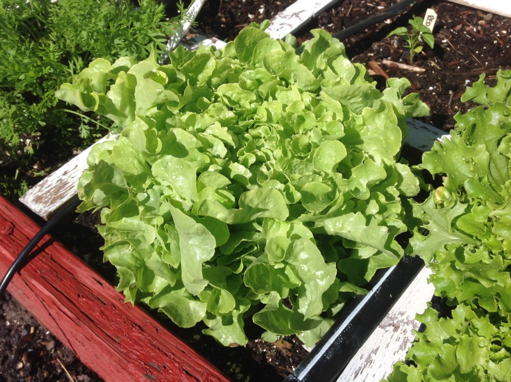 Square foot garden spacing for lettuce – The Wealthy Earth