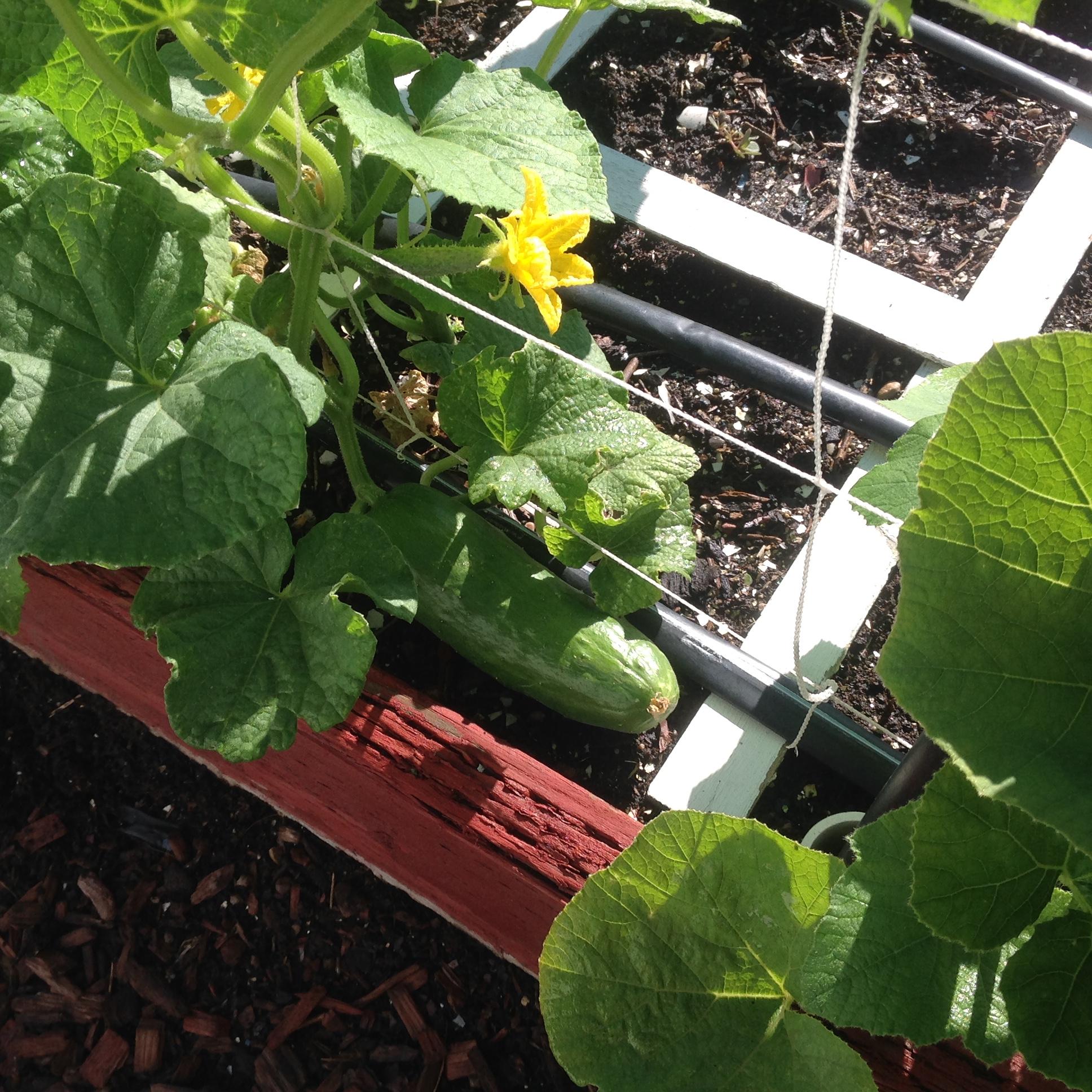 Iznik cucumber