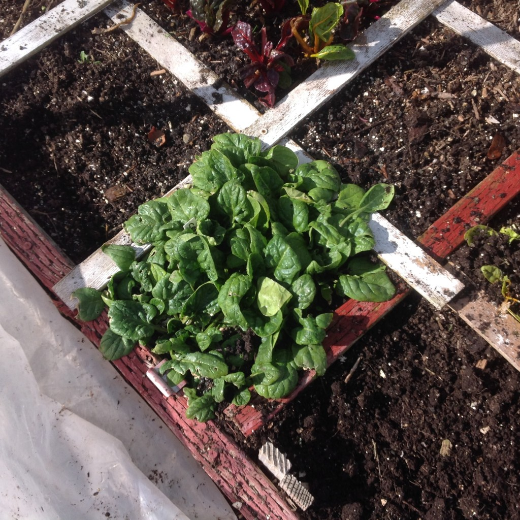 winter spinach in the square foot garden