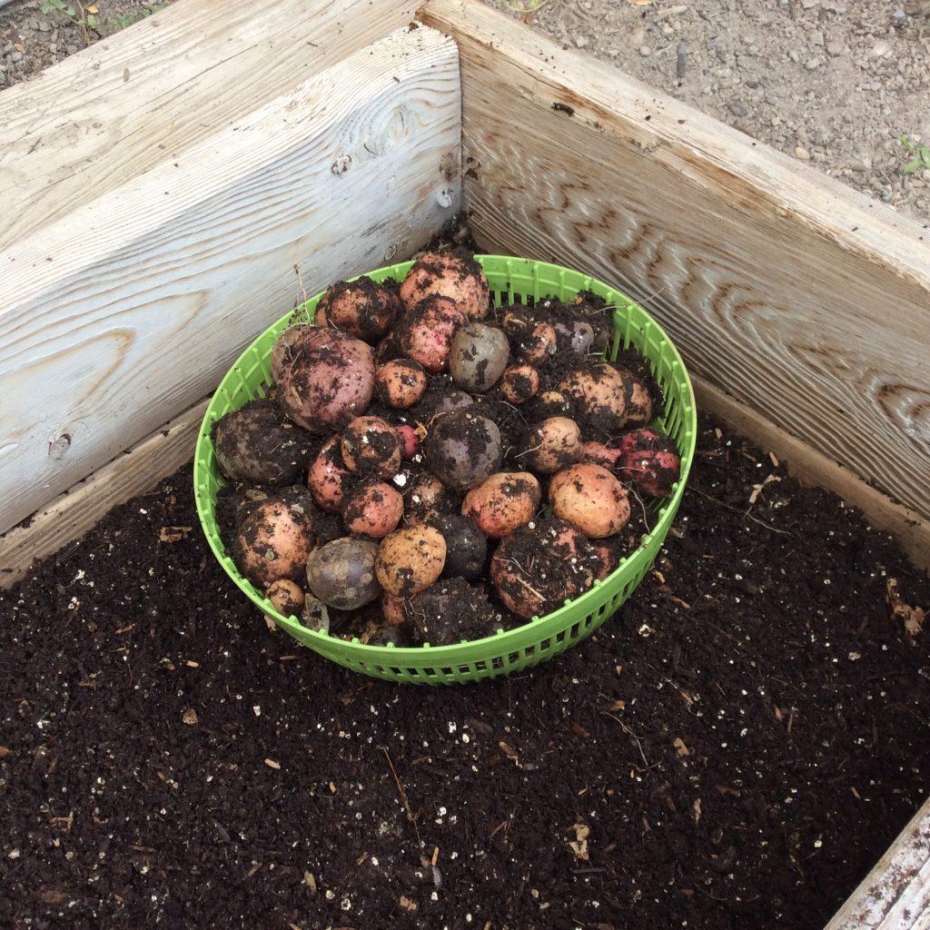 new potatoes 081816