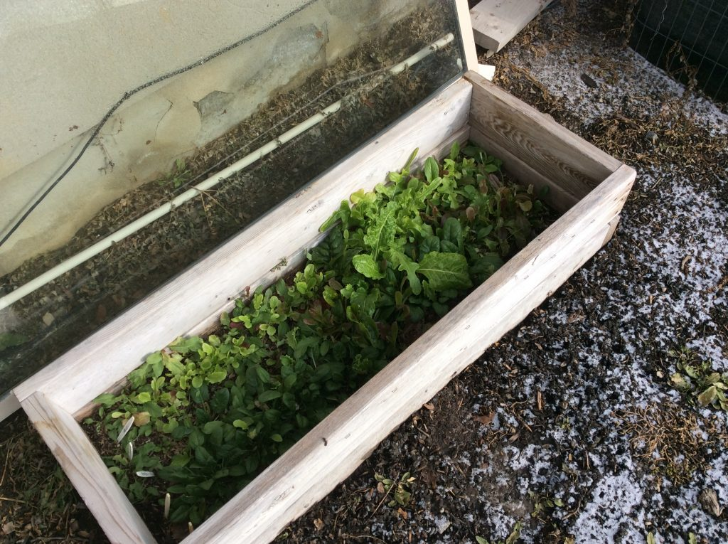 My very small cold frame winter garden The Wealthy Earth